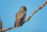 Great Gray owl - baby on a limb