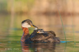 Red-necked grebe feather pass.jpg