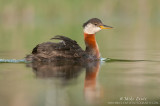 Red-necked Grebe on pristine waters