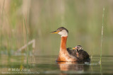 Red-Necked Grebe with babies