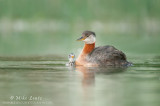 Red-Necked Grebe admiration