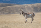 Pronghorn on the run
