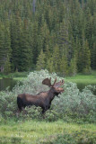 Moose in Rocky Mountains
