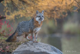 Grey Fox autumn pond