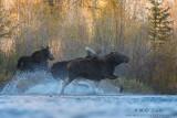 Moose running across river