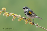 Yellow rumped warbler on willow buds