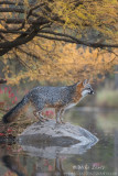 Grey Fox in autumn splendor
