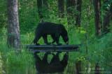 Black Bear walks across log reflecting in stream