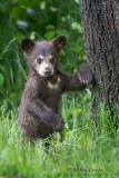 Black Bear Cub leans on tree