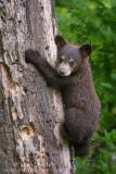 Black Bear Cub climbs on dead tree