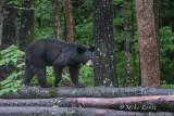 Black Bear walks across logs