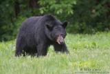 Black Bear male strolls through grasses