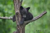 Black Bear cub snoozing in tree