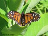 Monarque - Monarch