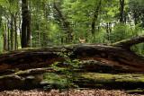 Veluwse bossen - Woodland
