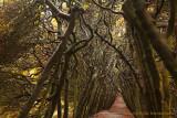 Loofhaag - Tree tunnel