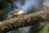 Boomkruiper - Short-toed Treecreeper - Certhia brachydactyla