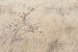 Krentenboom - Juneberry - Amelanchier lamarckii