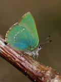 Groentje - Green hairstreak - Callophrys rubi