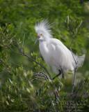 1DX77547 - Snowy Egret