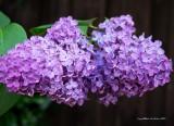 Double Purple Lilac