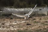 Eurasian Spoonbill. Skjestork
