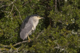 Black-crowned Night Heron. Svart Kronet Natthegre