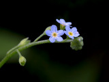 Smaller Forget-me-not