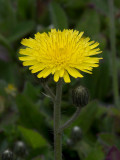 Large Mouse Ear Hawkweed