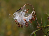 Swamp Milkweed Seeds