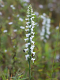 Nodding Ladies'-tresses Orchid