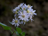 Heart-leaved Aster