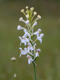 White-fringed Orchid