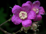 Purple-flowering Raspberry