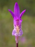 Arethusa Orchid