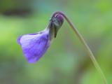 Great-spurred Violet