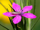 Deptford Pink with Four-spotted Tree Cricket Nymph