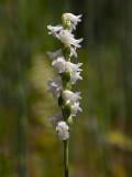Nodding Ladies'-tresses Orchid