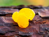 Witch's Butter Fungus