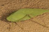 Broad-winged Katydid  (Microcentrum rhombifolium )