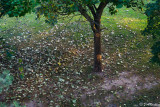 Fallen Leaves Of the Catalpa Tree