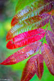 Sumac Leave and Dewdrops
