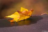 Maple Leaf On Bridge I