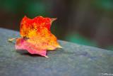 Maple Leaf On Bridge II