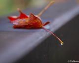 Maple Leaf On Bridge III