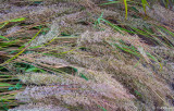 Japanese Forest Grass and Dew