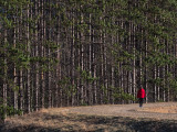 Fir trees and red jacket