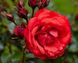 Rose in garden at Muckross House