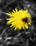 Irish bee and dandelion (2 of2) -Selective color