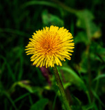 An Irish dandelion